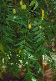 daun mimba dan buah APA ITU PSORIASIS