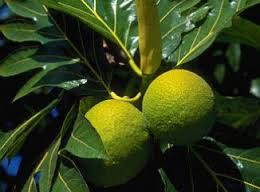 herbal daun sukun OBAT WASIR DAUN UNGU ANTIINFLAMASI ANALGESIK HILANGKAN BENGKAK PENDARAHAN