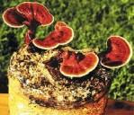 Manfaat Tumbuhan Jamur Kayu Jamur Ling Zhi