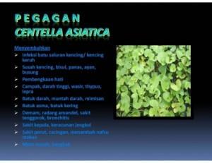 PEGAGAN ( Centella asiatica (L) Urban.)